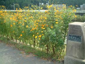 ちなみにこれは、弊社近くの橋に咲いたコスモス。弊社園芸担当(?!)の、工場長の作品です。