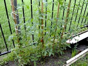 今年の夏の間中、工場裏の小さなスペースに小さな菜園が誕生しました。