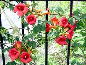その他にも、駐車場には園長が数年かけてやっと花がついたこちらは ノウゼンカズラ